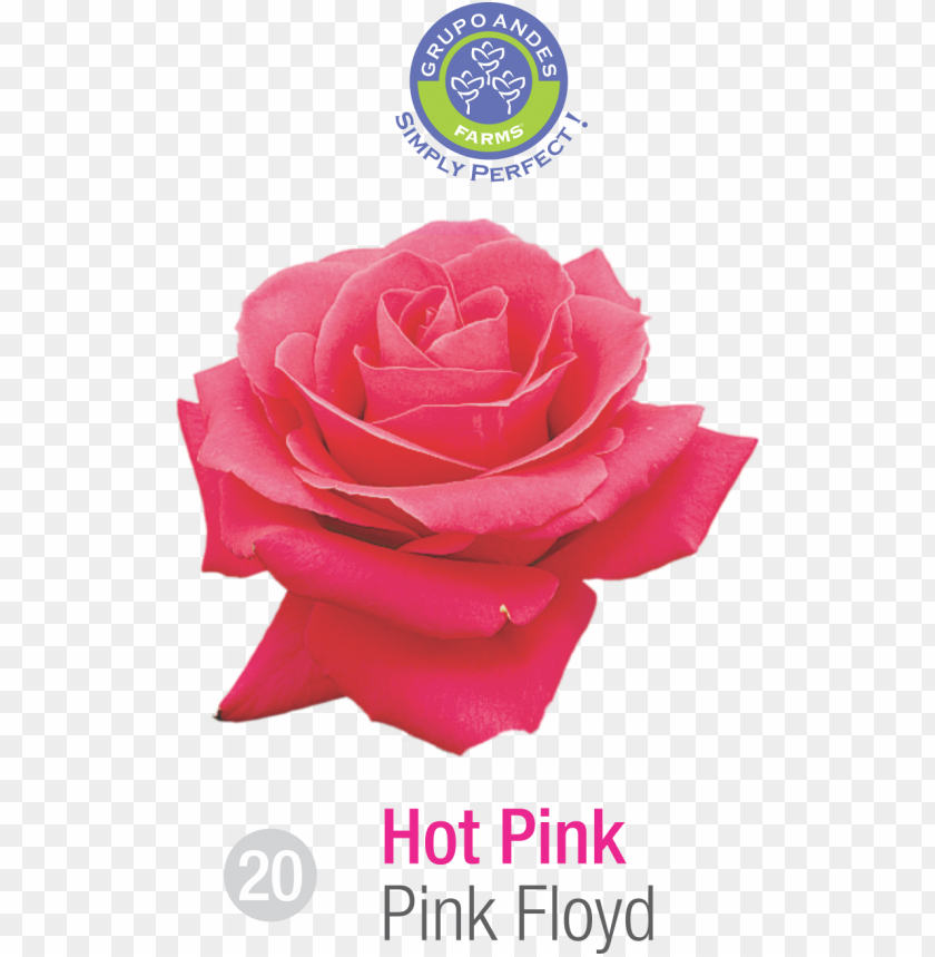 free PNG rosa variedad pink floyd grupo andes farms - portable network graphics PNG image with transparent background PNG images transparent