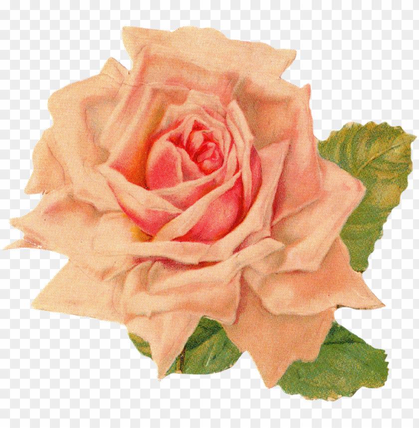 free PNG rose 1 rose 2 rose 3 - orange vintage flowers PNG image with transparent background PNG images transparent