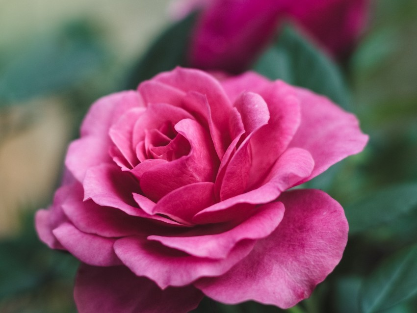 free PNG rose, flower, closeup, romantic, pink, beautiful background PNG images transparent