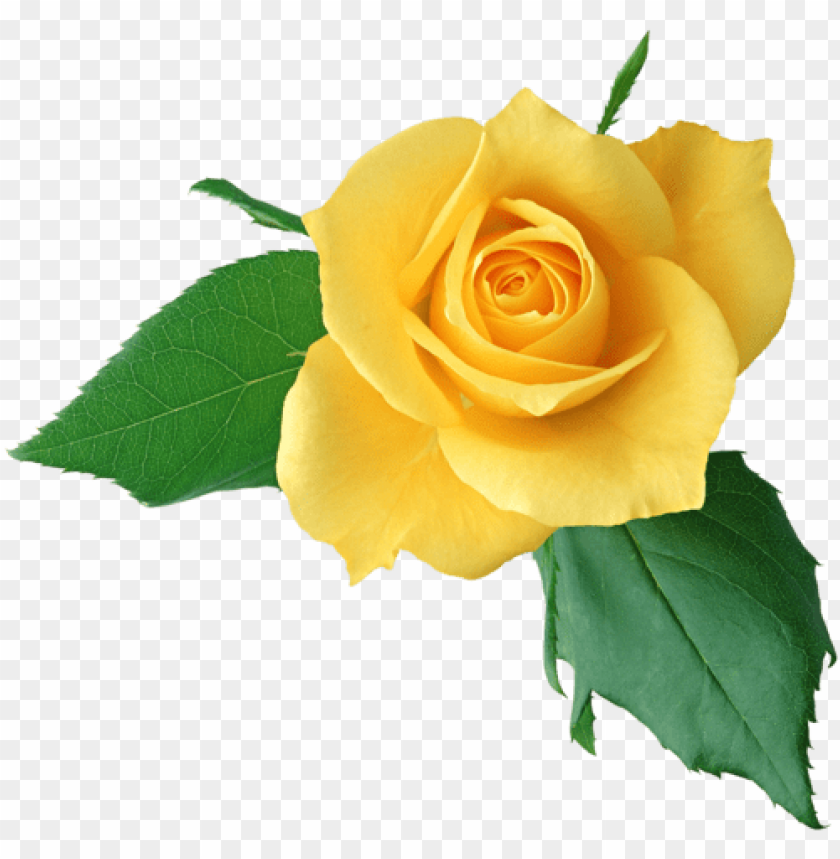 free PNG rose pictures, amazing pictures, rose clipart, yellow - single rose flower hd PNG image with transparent background PNG images transparent