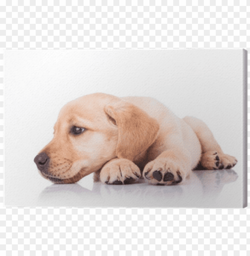 sad little labrador retriever puppy dog with head on - puppy head in paws PNG image with transparent background@toppng.com