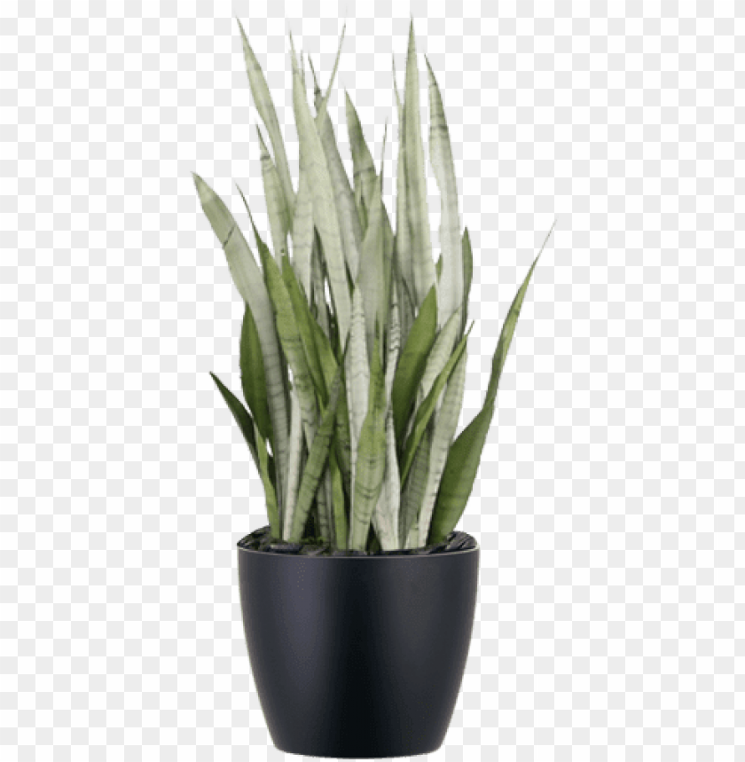 free PNG sansevieria silver queen low-light indoor snake plant - sansevieria silver quee PNG image with transparent background PNG images transparent