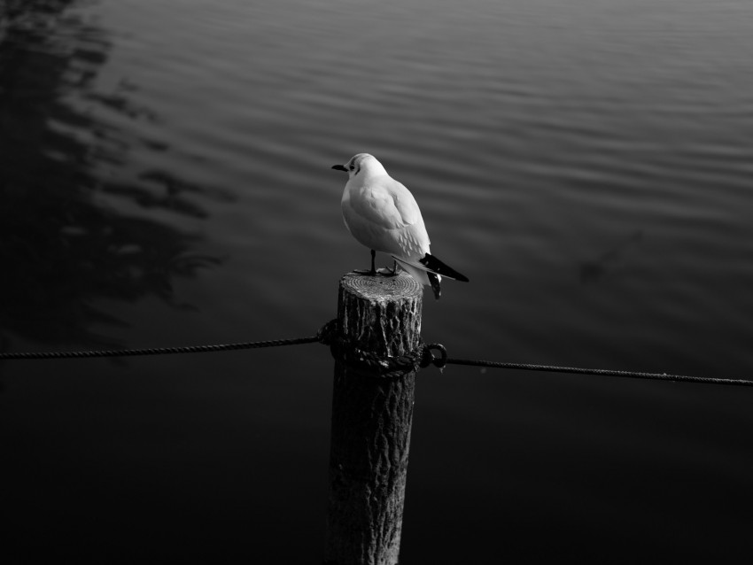 free PNG seagull, bird, bw, water background PNG images transparent