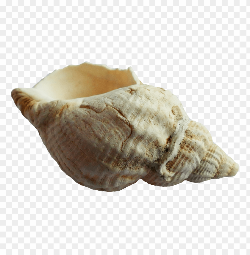 free PNG Download Seashell png images background PNG images transparent