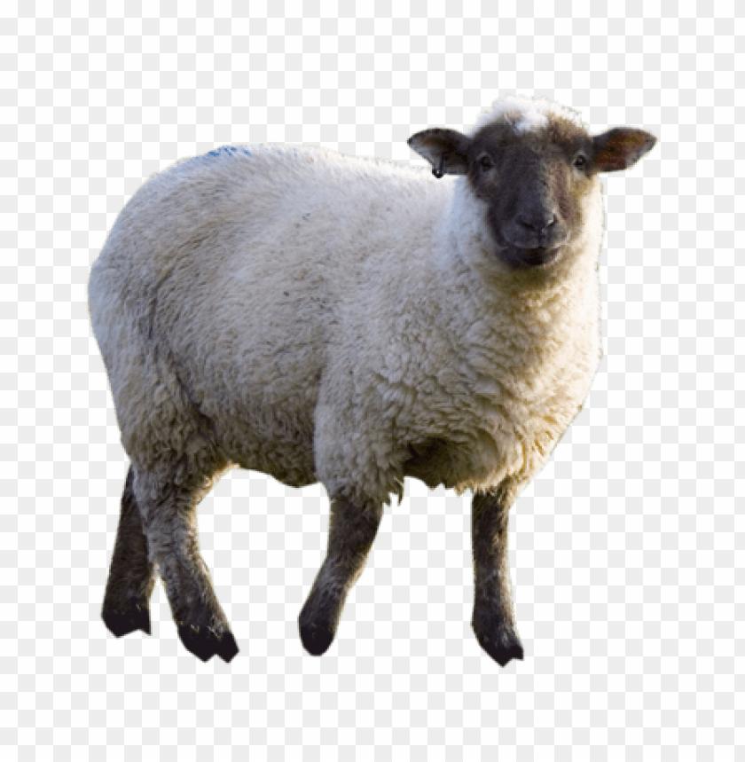 фото овцы на прозрачном фоне прическу, нужно учитывать