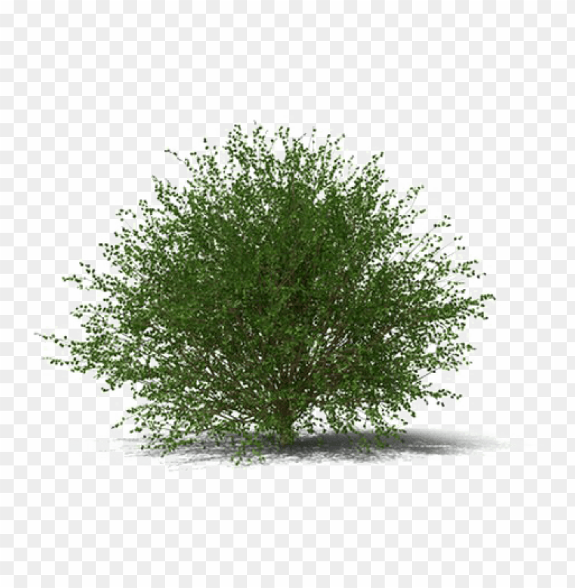 free PNG shrub transparent image - juniper shrub PNG image with transparent background PNG images transparent