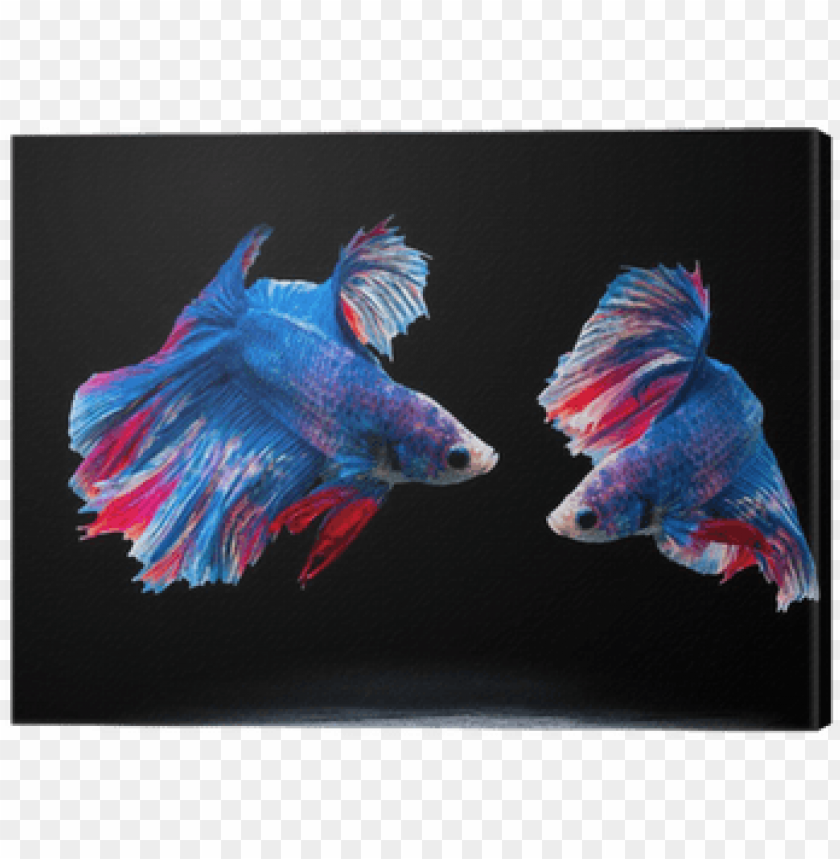 free PNG siam fighting fish on black, betta fish canvas print - siamese fighting fish PNG image with transparent background PNG images transparent