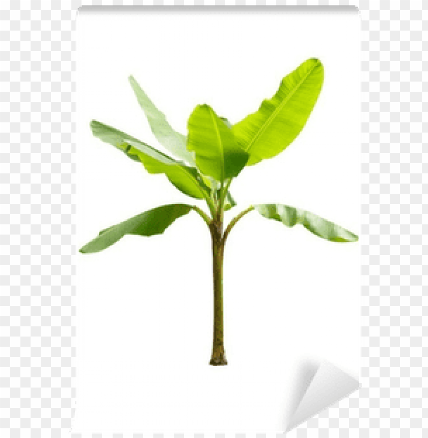 free PNG single banana tree png for kids - young banana tree PNG image with transparent background PNG images transparent