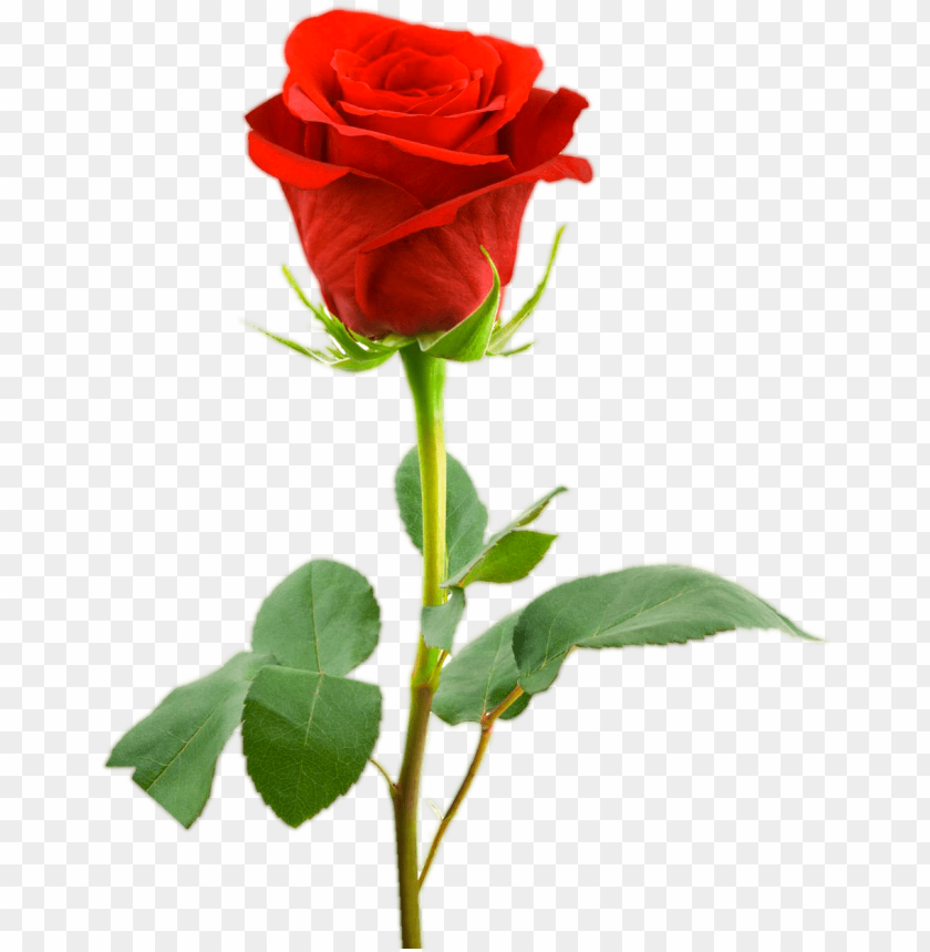 Single Rose Flower Hd Png Image With Transparent Background Toppng