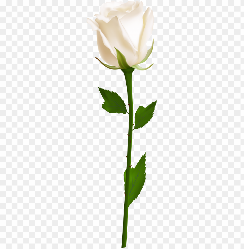 free PNG single white rose PNG image with transparent background PNG images transparent