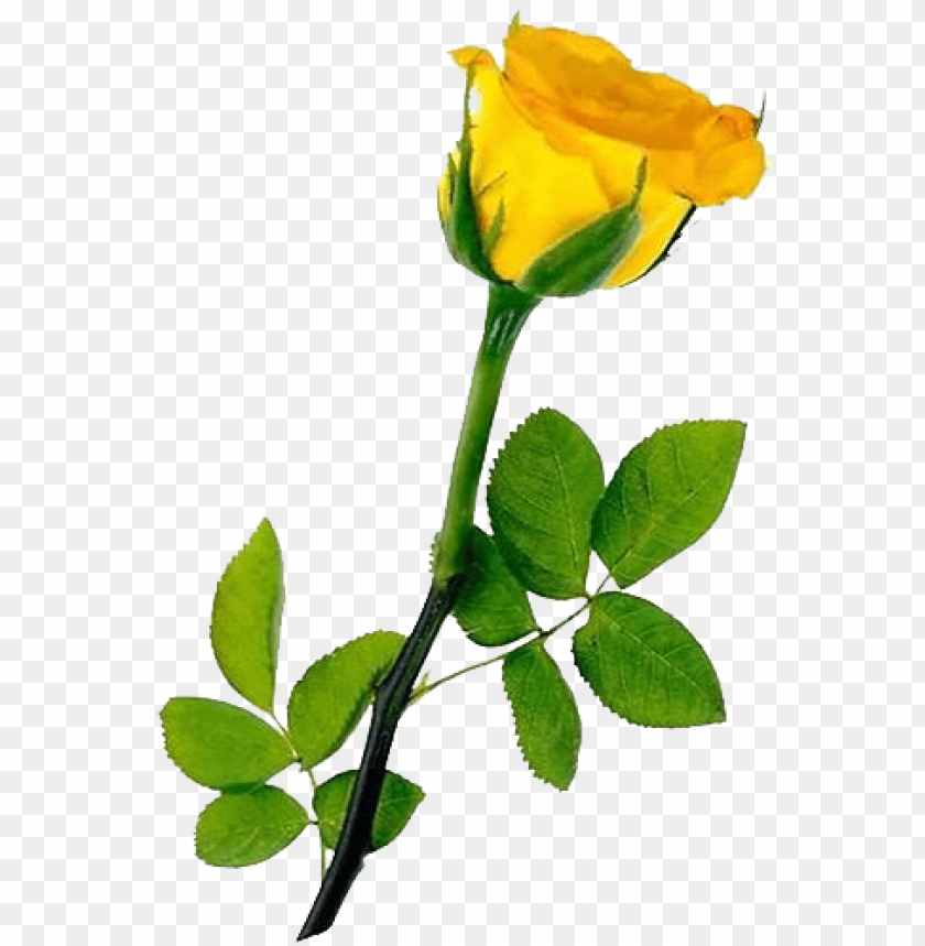 free PNG single yellow rose transparent background - hd single yellow rose PNG image with transparent background PNG images transparent