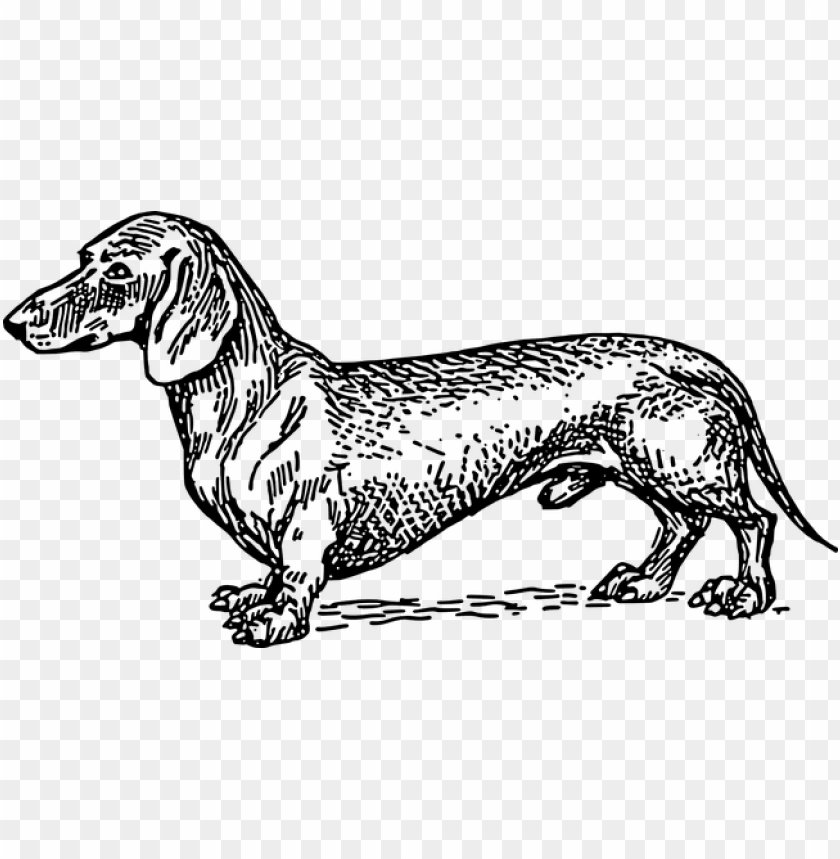 free PNG small dog pet short fur dachshund breed do - wiener dog line art PNG image with transparent background PNG images transparent