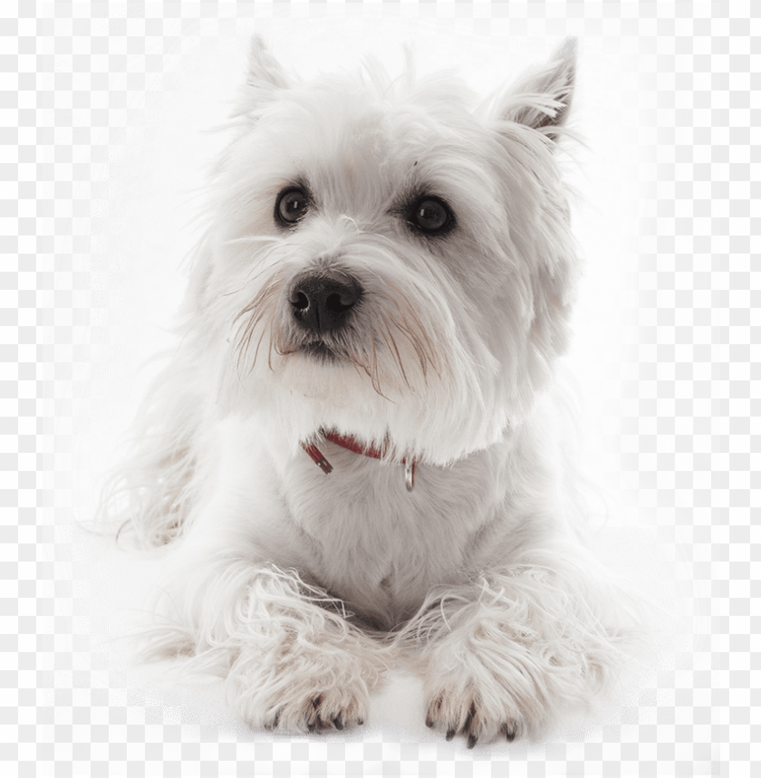 free PNG small white dog - white west highland terrier dog portrait journal: 150 PNG image with transparent background PNG images transparent