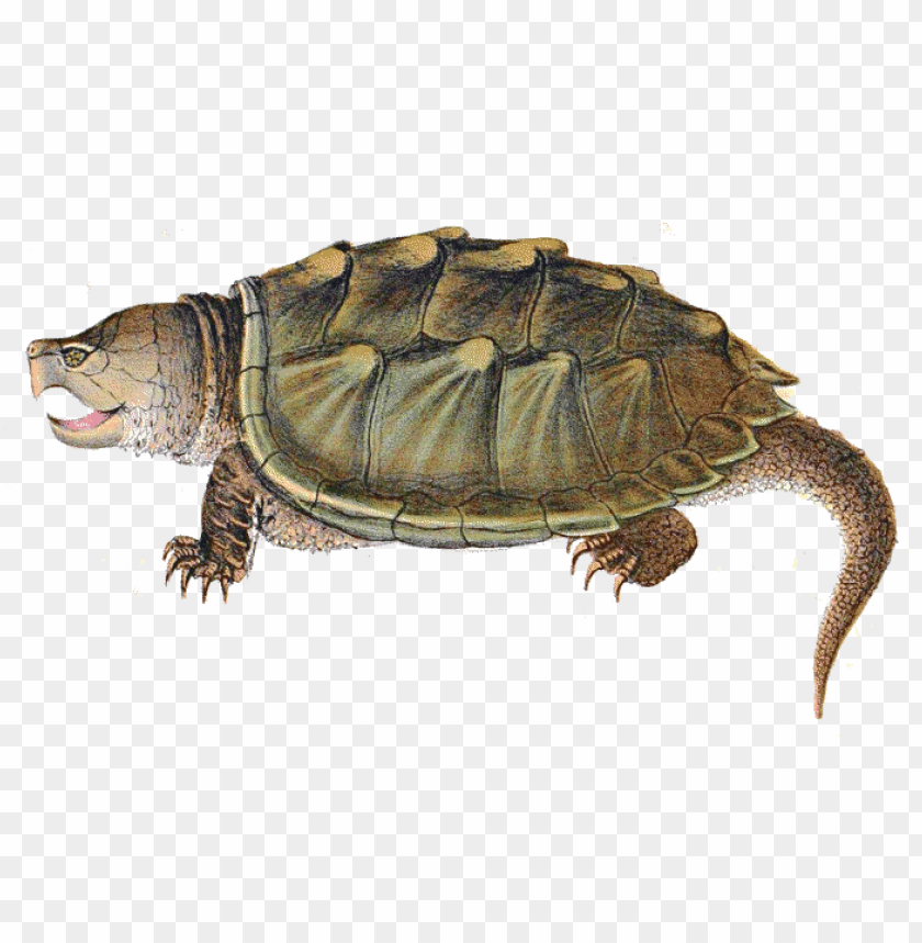 free PNG Download snapping turtle illustration png images background PNG images transparent