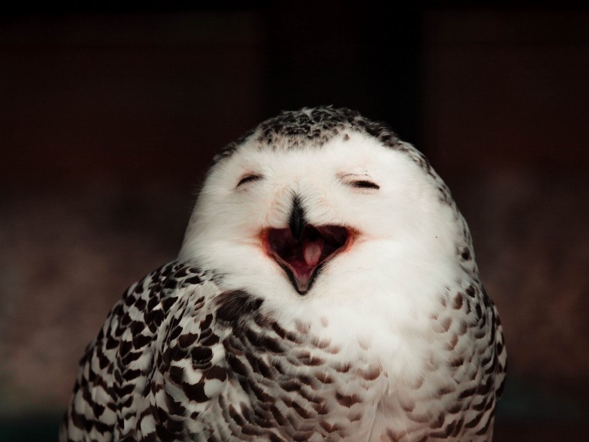 free PNG snowy owl, owl, bird, emotions, funny background PNG images transparent