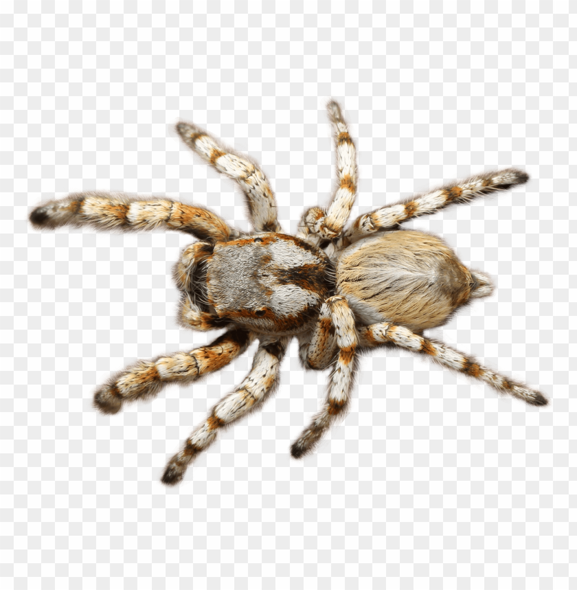 Download Spider png images background@toppng.com