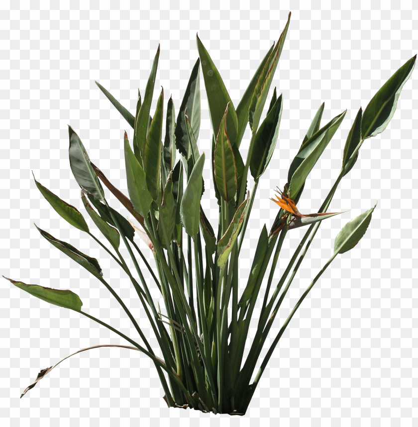free PNG strelitzia texture - bird of paradise plant PNG image with transparent background PNG images transparent