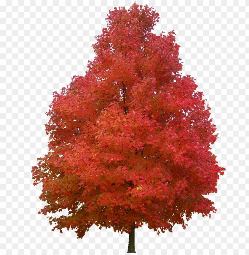 free PNG sugar maple red maple tree paper plant - sugar maple tree PNG image with transparent background PNG images transparent