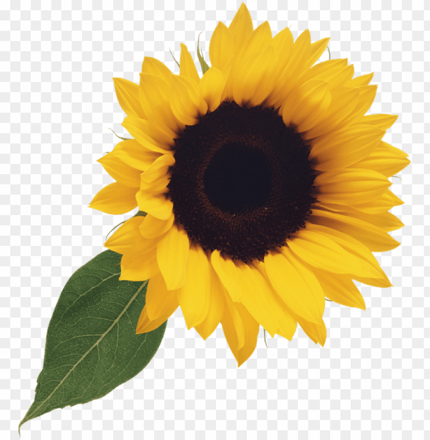 sunflower clipart png PNG image with transparent background@toppng.com