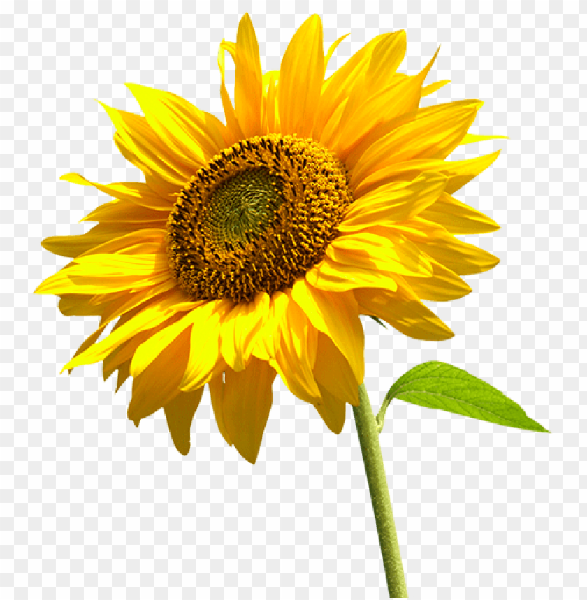 free PNG Download sunflowers high-quality png png images background PNG images transparent