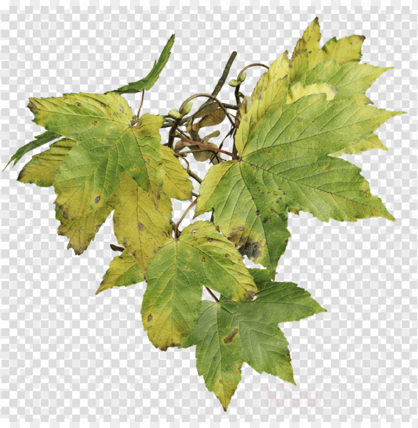 sycamore maple PNG image with transparent background@toppng.com