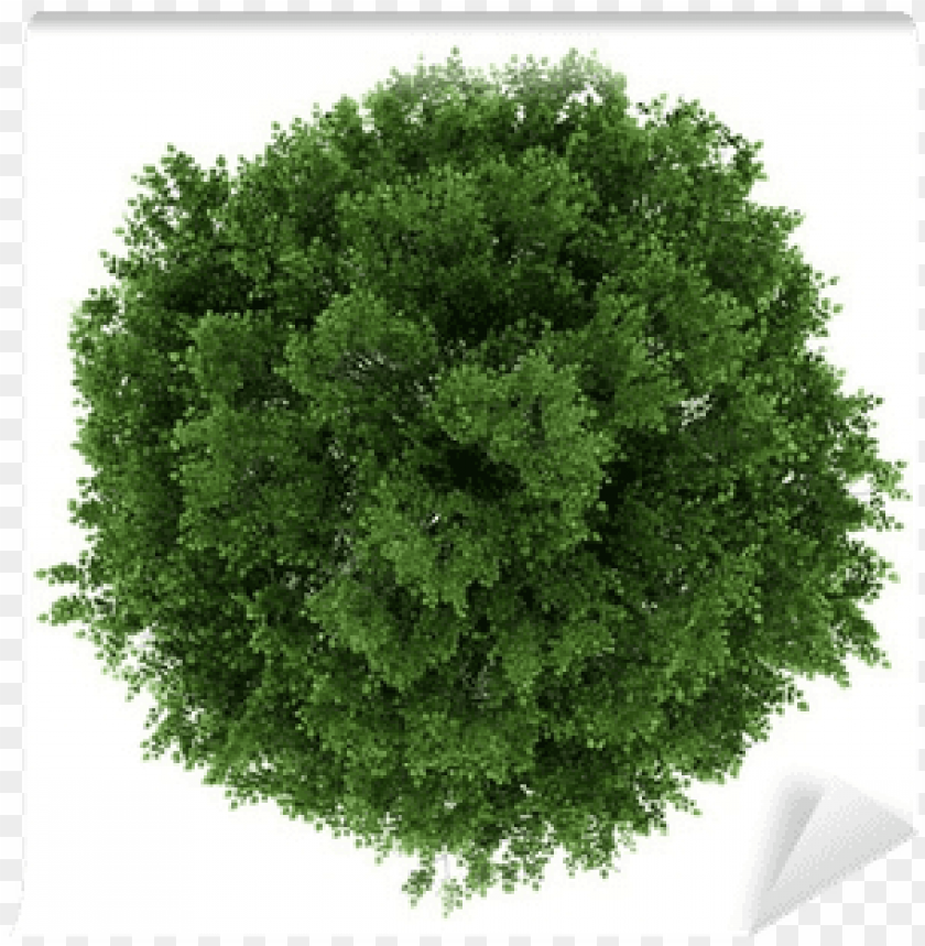 free PNG tilia cordata top view PNG image with transparent background PNG images transparent