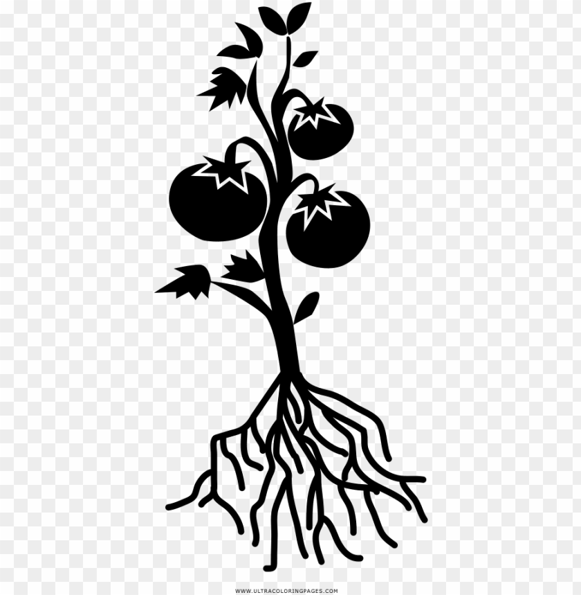 free PNG tomato plant coloring page - black and white tomato plant PNG image with transparent background PNG images transparent