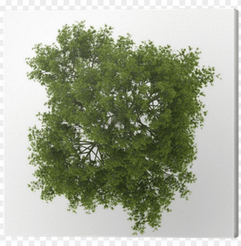 free PNG top view of crack willow tree isolated on white background - tree plan texture PNG image with transparent background PNG images transparent