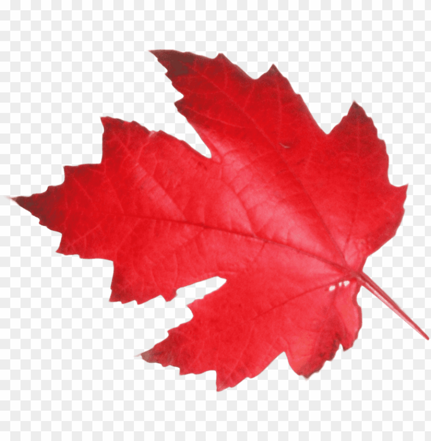 transparent canadian maple leaf PNG image with transparent background@toppng.com