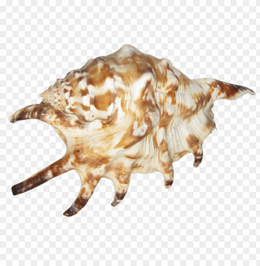 free PNG Download transparent seashell picture clipart png photo   PNG images transparent