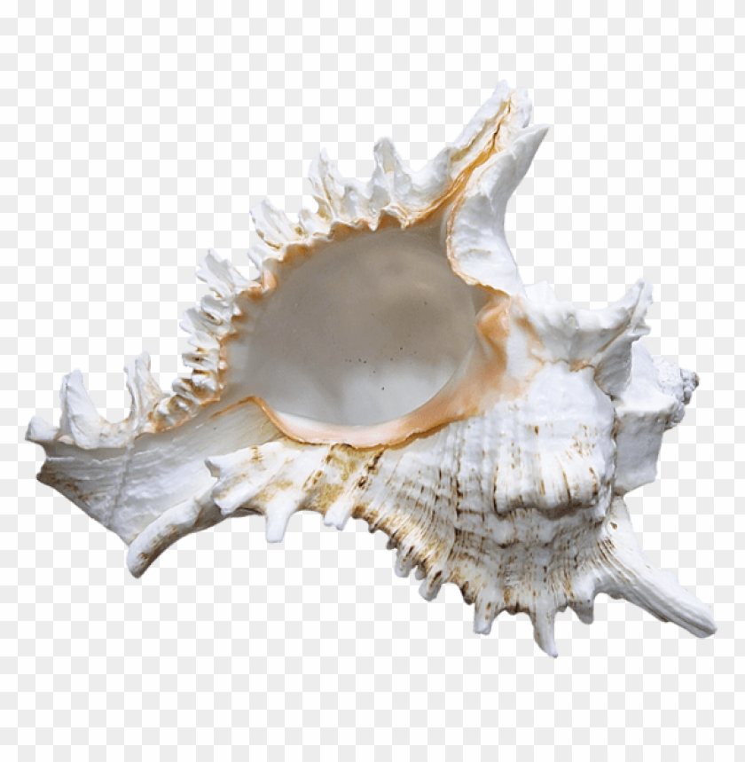 free PNG Download transparent seashell rapana clipart png photo   PNG images transparent
