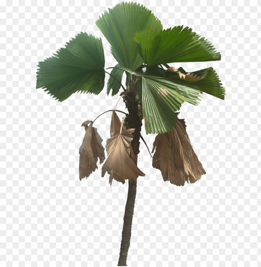 free PNG tree cut out, fan palm, plant pictures, tropical plants - palm trees PNG image with transparent background PNG images transparent