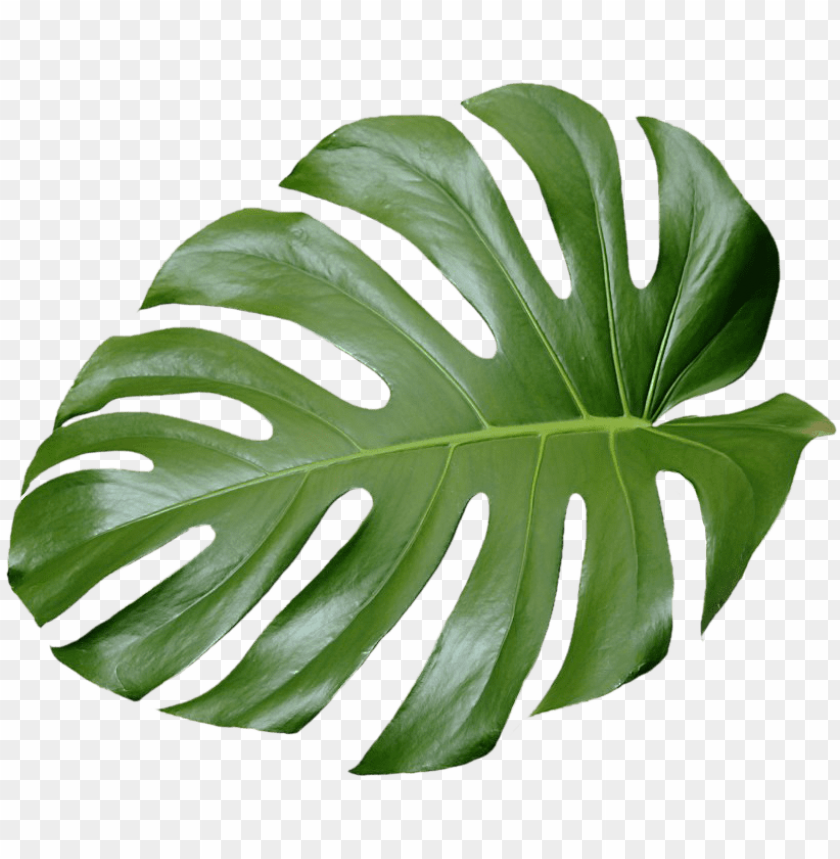 Tree No Leaves Png For Free Tropical Leaves Png Transparent Png Image With Transparent Background Toppng Pngtree offers hd tropical leaves background images for free download. tropical leaves png transparent png