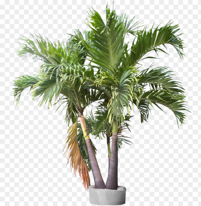 free PNG triple trunk container plant images, trunks, container, - lady palm plant PNG image with transparent background PNG images transparent