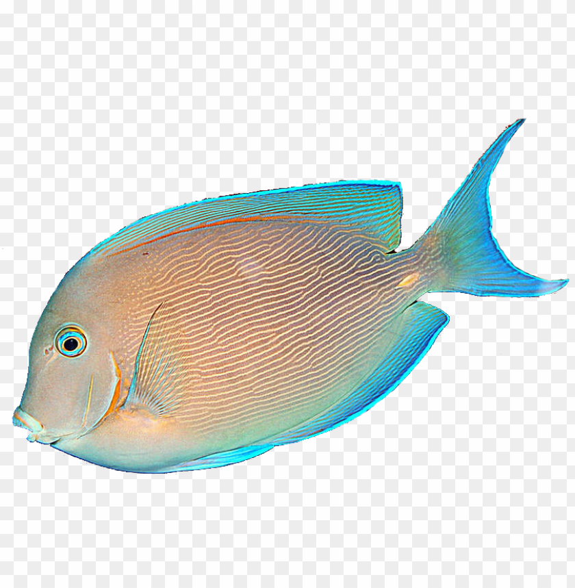 Tropical Fish Png Tropical Fish No Background Png Image With Transparent Background Toppng
