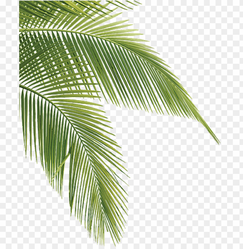 free PNG tropical transparent pine leaves - transparent palm tree leaves PNG image with transparent background PNG images transparent