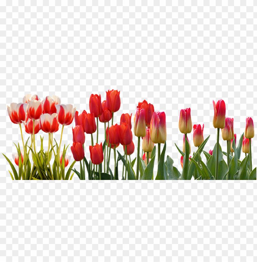 free PNG tulip, spring, nature, flower, color, plant, garden - tulip flower garden PNG image with transparent background PNG images transparent