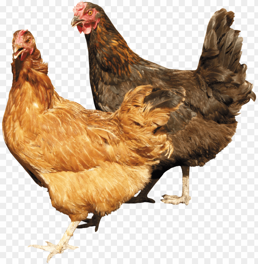 free PNG Download two chickens standing right next to each other png images background PNG images transparent