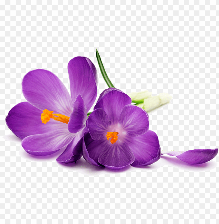 free PNG urple flowers png image transparent - purple flower on a white background PNG image with transparent background PNG images transparent