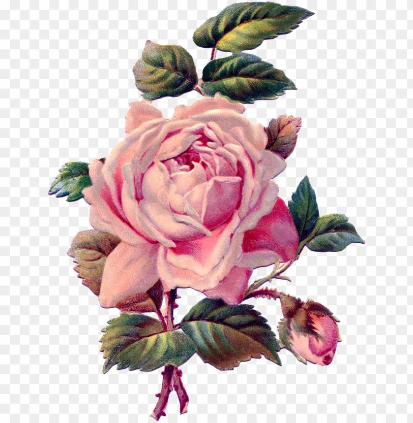 free PNG vintage roses png - rose drawing vintage PNG image with transparent background PNG images transparent