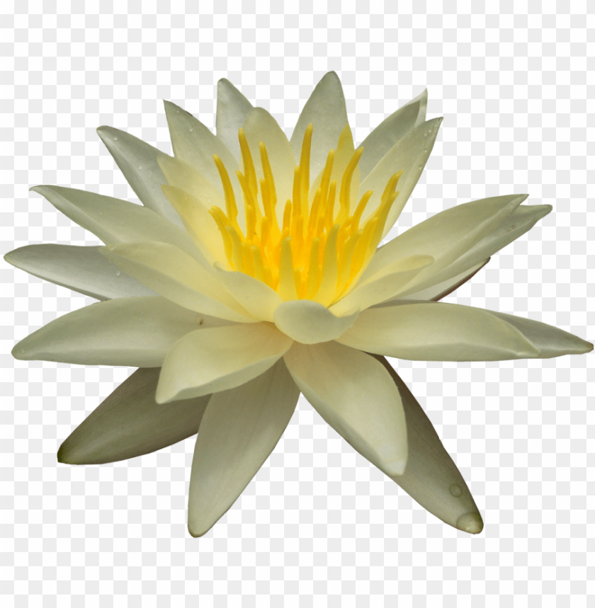 free PNG Download water lily png images background PNG images transparent