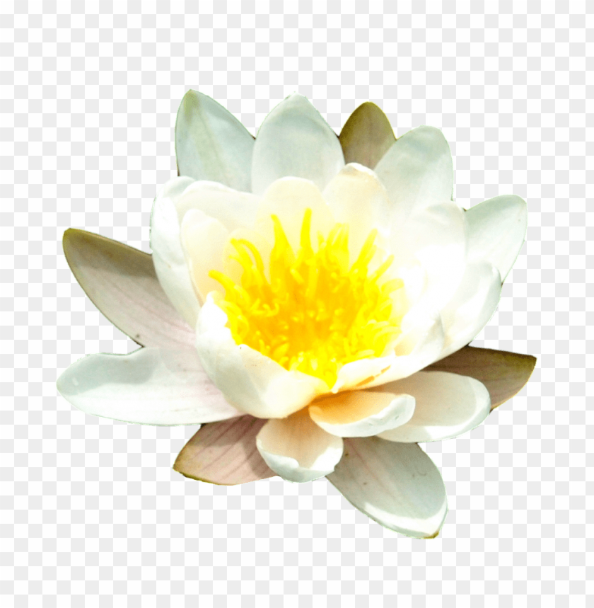 free PNG Download water lily free png images background PNG images transparent