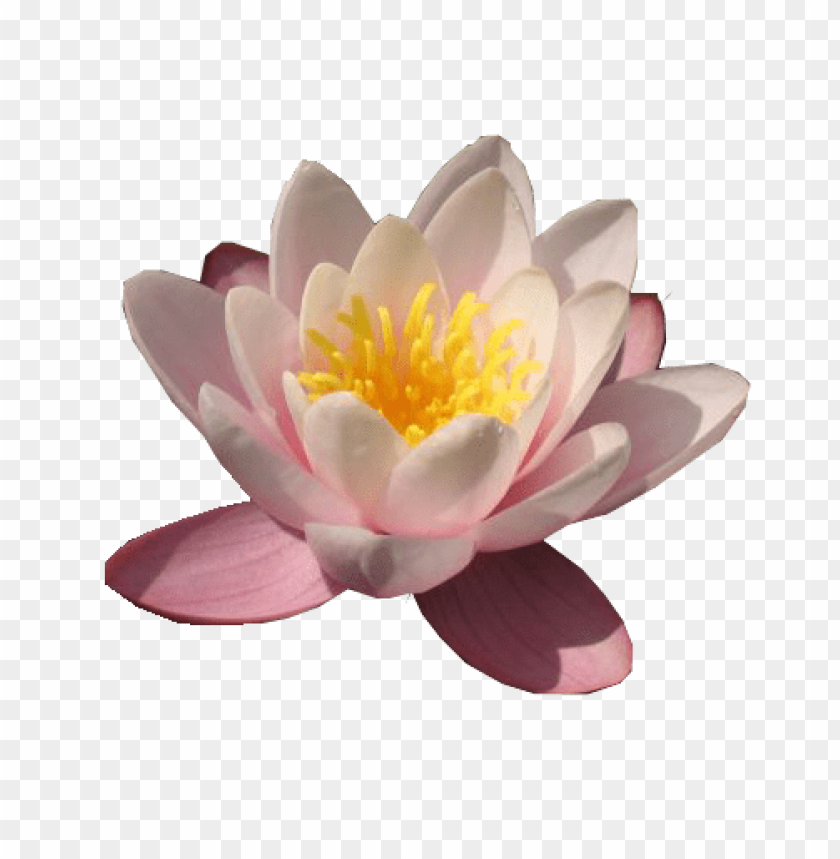 Download water lily free download png png images background@toppng.com