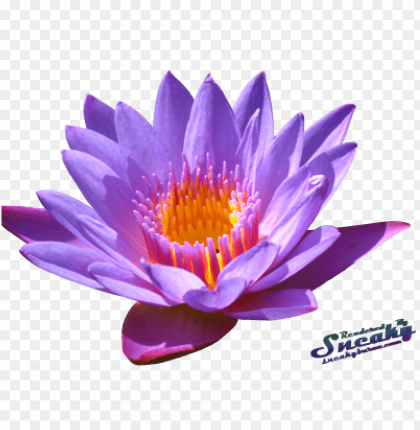 free PNG Download water lily png png images background PNG images transparent