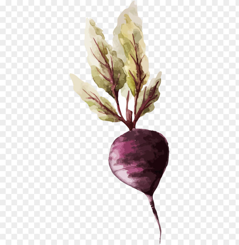 free PNG watercolor painting vegetable drawing illustration - vegetable watercolor PNG image with transparent background PNG images transparent