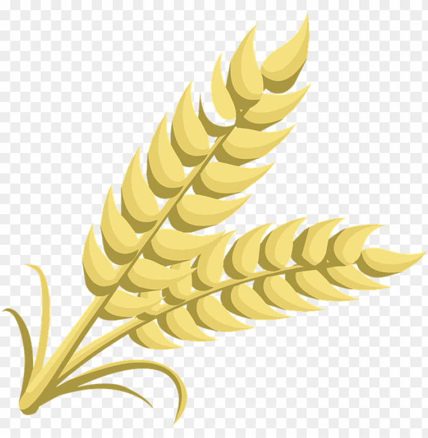 Download Wheat png images background@toppng.com
