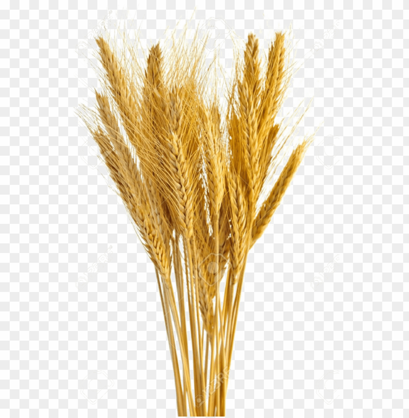 free PNG wheat vector free transparent - wheat stalks PNG image with transparent background PNG images transparent