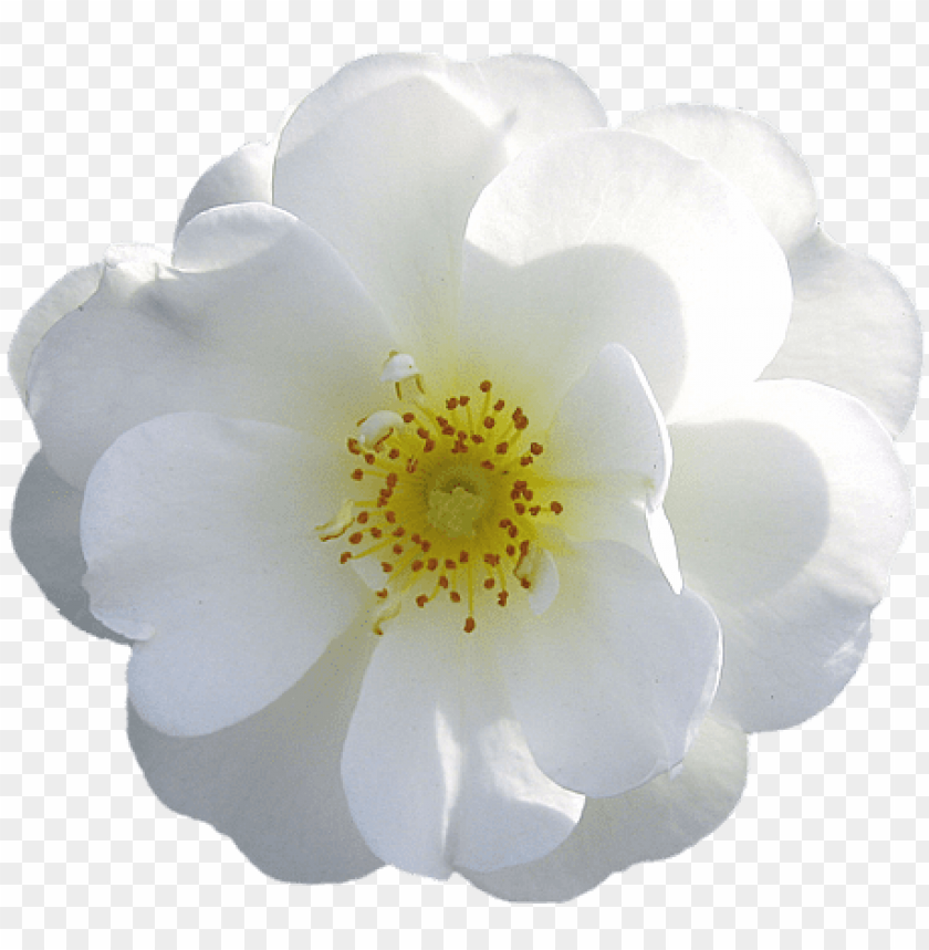 free PNG white flower png - white flower transparent background PNG image with transparent background PNG images transparent