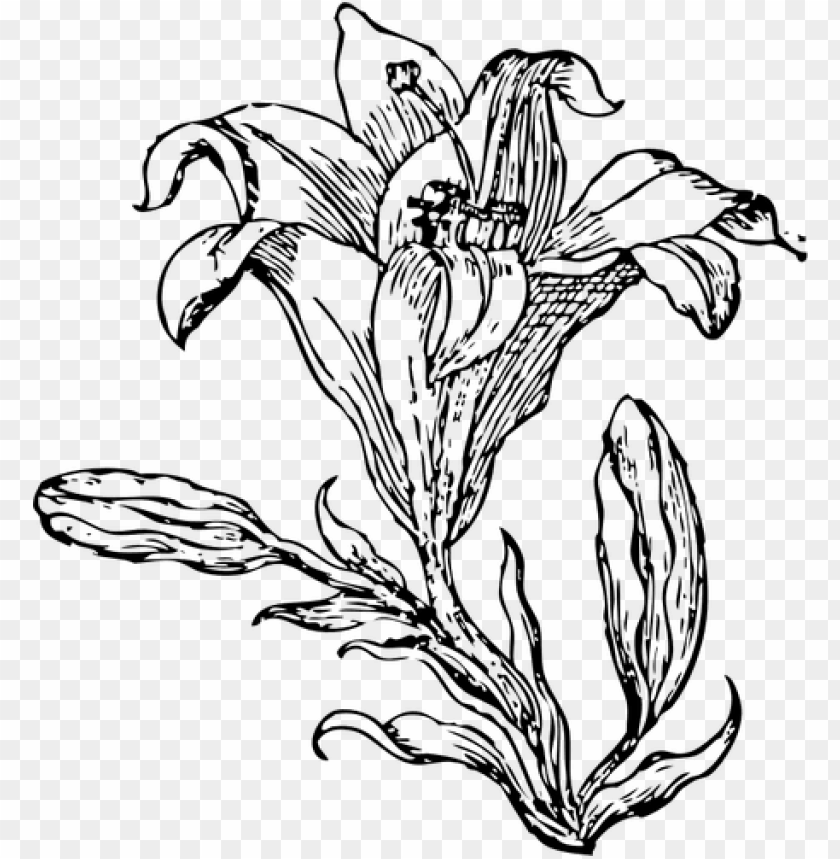 free PNG white lily flower drawing at getdrawings - flower line art PNG image with transparent background PNG images transparent