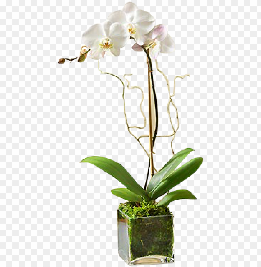 free PNG white orchid plant - white phalaenopsis orchid - flowers by 1-800 flowers PNG image with transparent background PNG images transparent